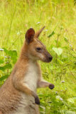 Wallaby dans le sauvage Photos stock