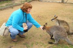 Wallaby, das handgefüttert ist stockfotos