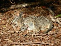 Wallaby de bébé dans la poche Images libres de droits