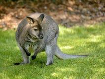 Wallaby de Bennet Image libre de droits