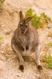 Wallaby de Bennett Foto de Stock Royalty Free