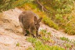 Wallaby de Bennett Imagen de archivo