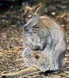Wallaby de Bennetts image libre de droits