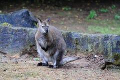 Wallaby de cuello rojo Foto de archivo