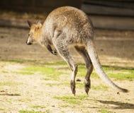 Wallaby de houblonnage photographie stock libre de droits
