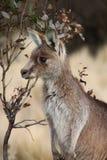 Wallaby de Joey Imagen de archivo libre de regalías