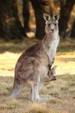 Wallaby de la madre con Joey Foto de archivo
