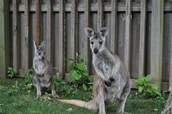 Wallaby de la madre y del bebé Imagen de archivo libre de regalías