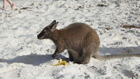 Wallaby de la Tasmanie Photo libre de droits