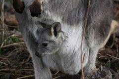 Wallaby de mère avec it&#x27 ; bébé Joey de s photographie stock libre de droits