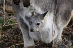 Wallaby de mère avec it&#x27 ; bébé Joey de s images libres de droits