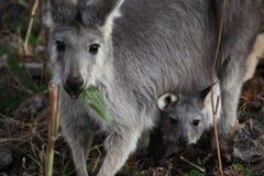 Wallaby de mère avec it&#x27 ; bébé Joey de s image libre de droits