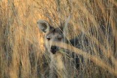 Wallaby de mère dans l'herbe sèche à une ferme photos stock