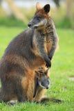 Wallaby de marais images stock