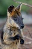 Wallaby de marais Image libre de droits