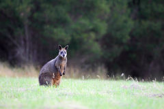 Wallaby de marais (Wallabia bicolore) Images stock