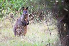 Wallaby de marais (Wallabia bicolore) Image stock