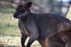 Wallaby de pescoço encarnado Foto de Stock