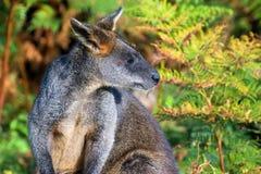 Wallaby de pescoço encarnado Imagens de Stock