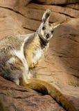 Wallaby de roca Imagen de archivo