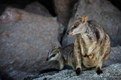 Wallaby de roca alzado amarillo con joey. Imagen de archivo