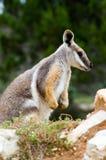 Wallaby de roca Amarillo-Alzado Imagenes de archivo
