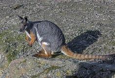 Wallaby de roca Amarillo-Alzado Fotografía de archivo