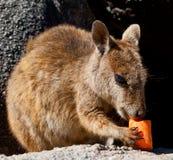 Wallaby de roca, isla magnética, Australia Imagen de archivo libre de regalías