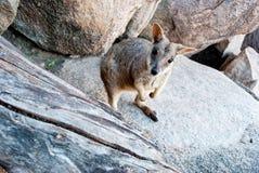 Wallaby de roca, isla magnética, Australia Imagenes de archivo