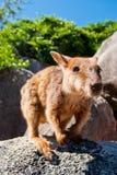 Wallaby de roca, isla magnética, Australia Fotografía de archivo