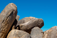 Wallaby de roca, isla magnética, Australia Fotos de archivo