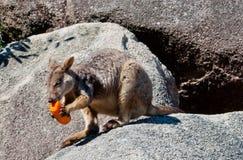 Wallaby de roca que come una zanahoria Imagen de archivo libre de regalías