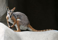 Wallaby de rocha Imagem de Stock Royalty Free
