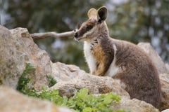 Wallaby de roche australien Images libres de droits
