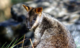 Wallaby de roche Balayer-Suivi, Australie Photo stock
