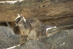 Wallaby de roche de Mareeba, rivière de mitchell, cairns, Queensland, Australie Photo stock