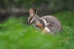 wallaby de roche Jaune-aux pieds - xanthopus de Petrogale - kangourou australien photographie stock libre de droits