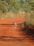 Wallaby de salto Fotos de Stock Royalty Free