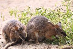 Wallaby de Tammar images libres de droits