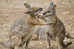 Wallaby de Tammar images stock