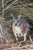 Wallaby de Tammar (eugenii de Macropus) Image stock