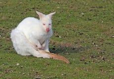 Wallaby dell'albino Fotografia Stock Libera da Diritti