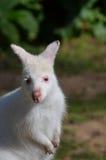 Wallaby dell'albino Fotografie Stock Libere da Diritti