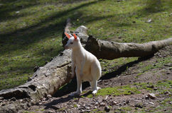 Wallaby dell'albino Fotografie Stock