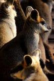 Wallaby della palude Fotografie Stock Libere da Diritti