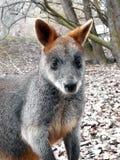 Wallaby della palude Fotografie Stock