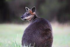 Wallaby della palude (Wallabia bicolore) Immagini Stock
