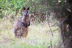 Wallaby della palude (Wallabia bicolore) Immagine Stock