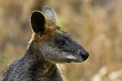 Wallaby an der Turm-Hügel-Reserve in Victoria, Australien Stockfotos