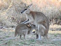 Wallaby di Argile Fotografia Stock